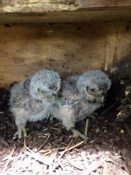 littleowl chicks