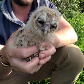 tawny chick