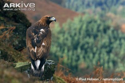Golden-eagle-in-habitat