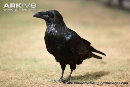 Raven-on-ground