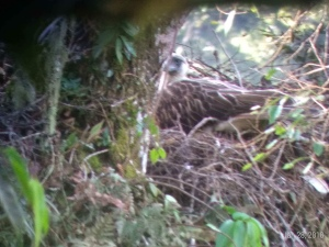 Incubating wild Philippine Eagle